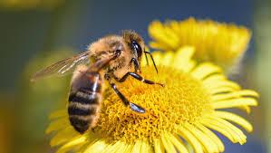 Bee Venom Extract